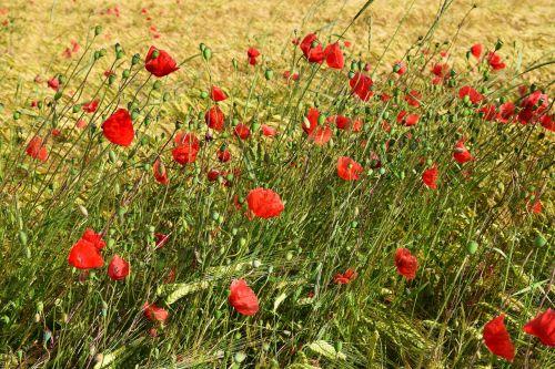 poppy meadow red poppy