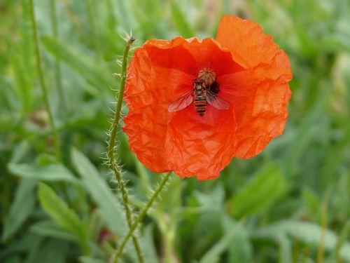 poppy insect wasp
