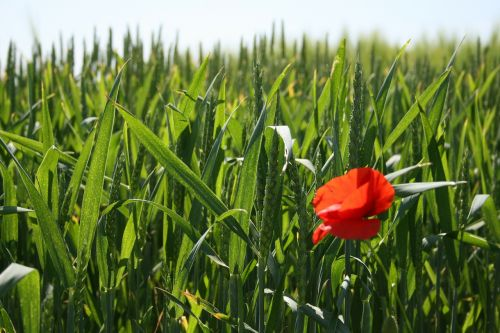 poppy flower cornfield
