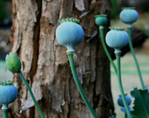 poppy seedpod green