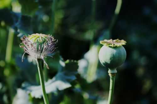 poppy seedpod green
