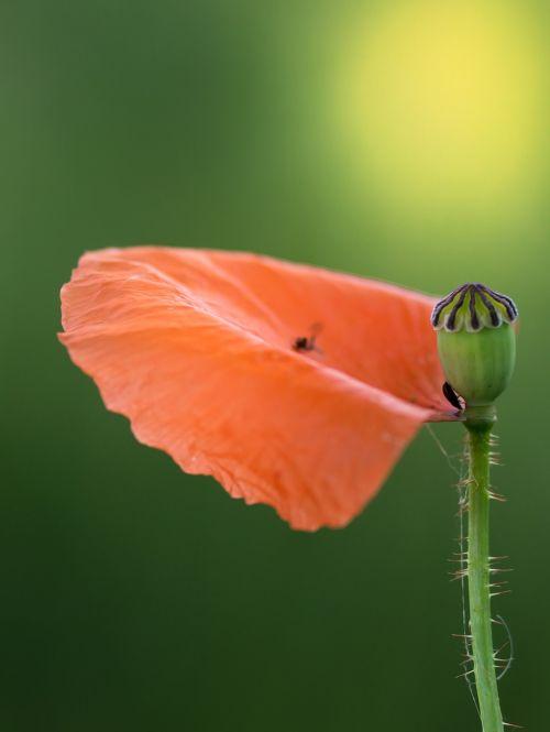 poppy petal boll