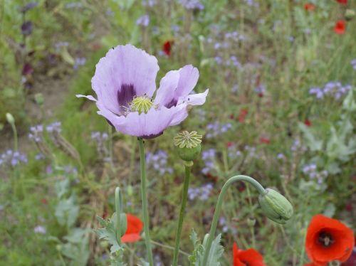 poppy purple flower