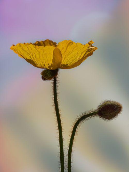 poppy yellow poppy iceland poppy