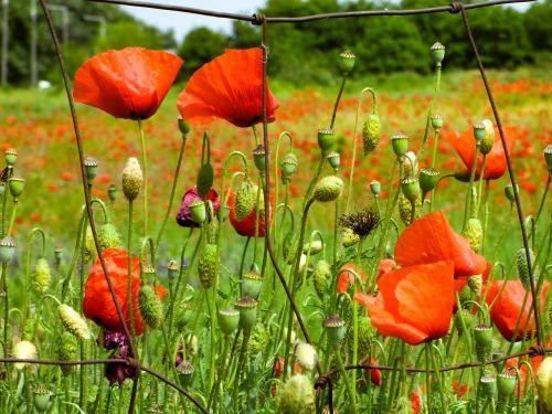 aguona,gėlė,wildflower,aguonos,pievos gėlė,augalas,raudona aguona,gamta,pavasaris,aguonų laukas,pavasario gėlė,raudona gėlė,raudona,vasaros gėlė,vasaros augalai