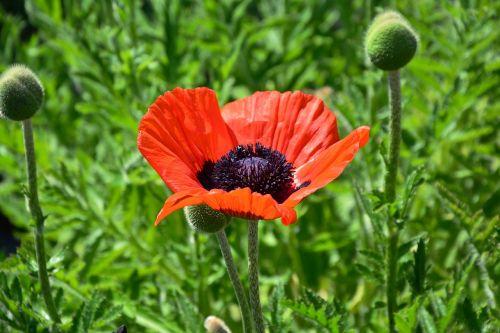 poppy red poppy poppy flower