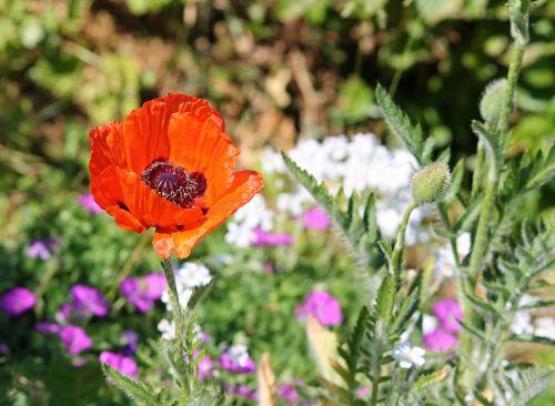 poppy spring meadow meadow