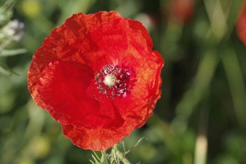 aguona,gėlė,raudona,interjeras,žiedadulkės,tuti,vienas,žiedlapiai,makro,pieva,žalias,gamta,augalas,gėlės