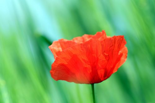 poppy klatschmohn poppy flower