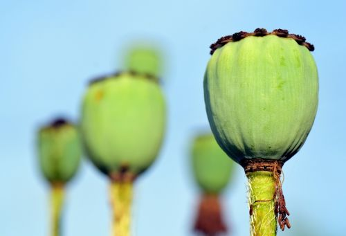 poppy poppy capsule klatschmohn
