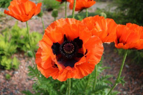 poppy oriental flower