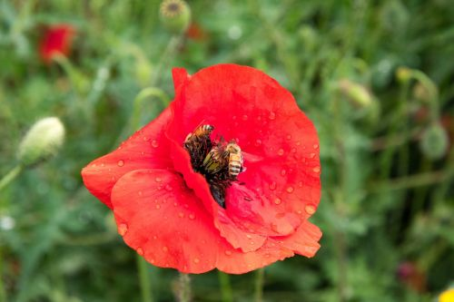 poppy bees red