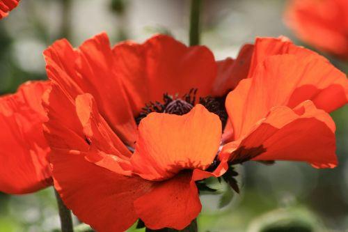 poppy orange red