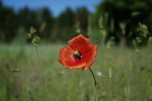 poppy flowers red poppy
