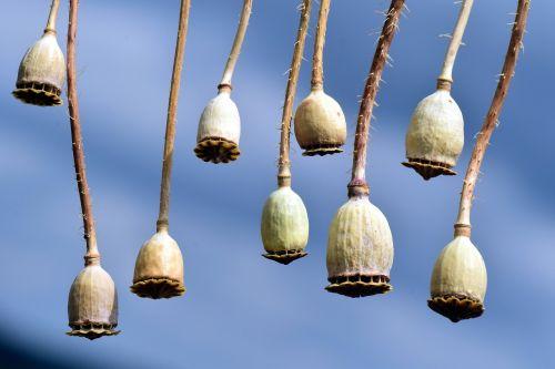 poppy poppy capsules seed capsules