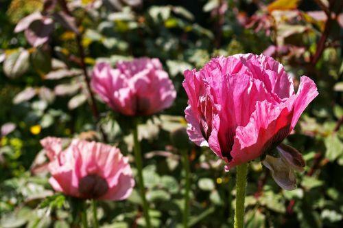 poppy garden flower