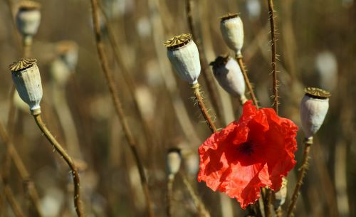 poppy summer blossom