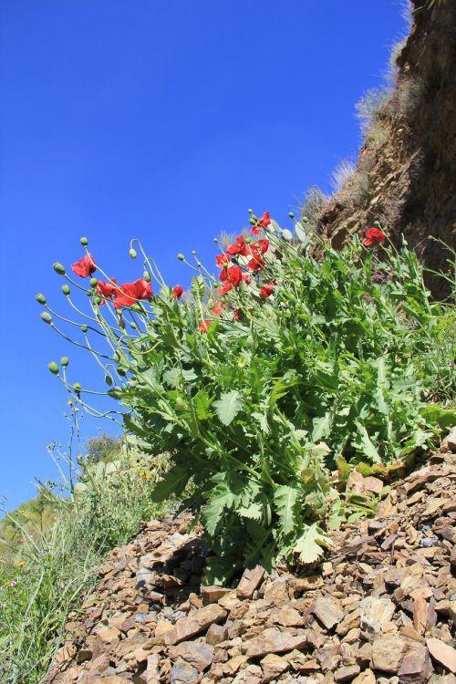 poppy spain mountainside