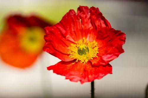 poppy poppies wild flowers