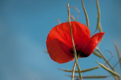 aguona,vasara,raudona,gėlė,gamta,aguonos gėlė,Uždaryti,žiedas,žydėti,mohngewaechs,augalas