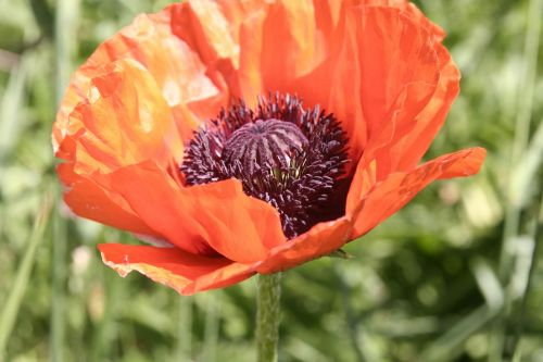 poppy orange flower