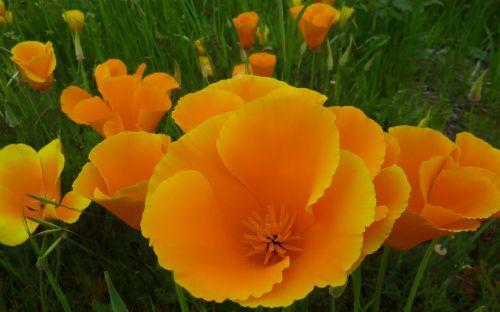 poppy flower poppies
