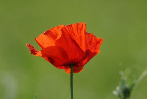 poppy flower flanders fields