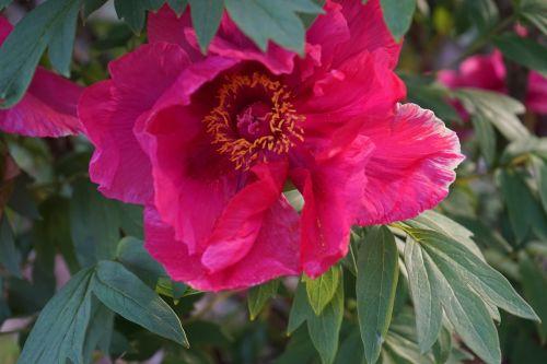 poppy strauchmohn purple flower