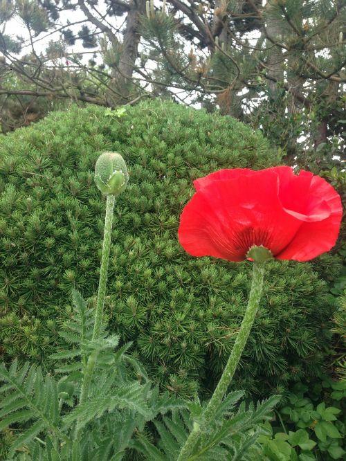 poppy pine red