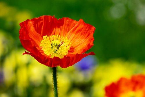 poppy  flower  klatschmohn