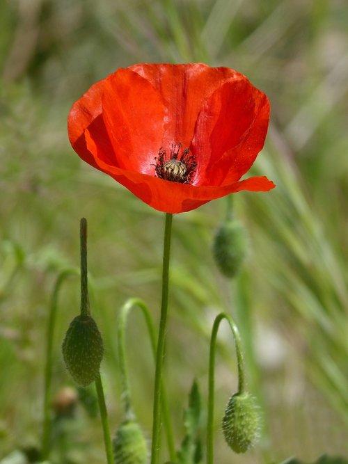 poppy  ababol  rosella