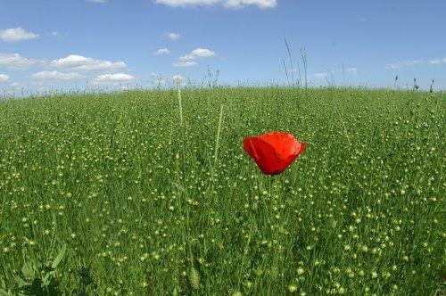 poppy  field  hayfield