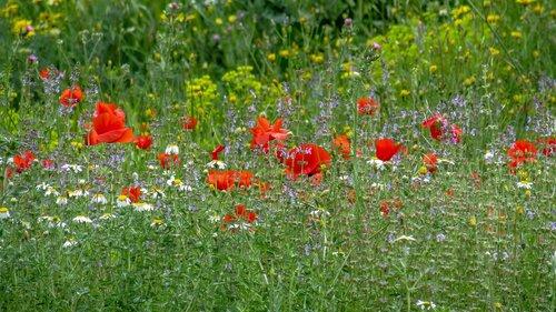 poppy  flower  papaverales