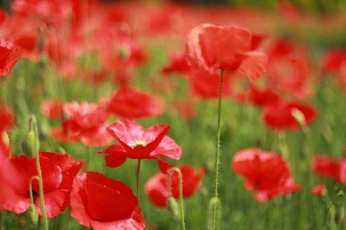 poppy  flowers  wildflower