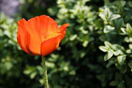poppy  red  red poppy