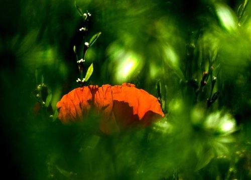 aguona, aguonos gėlė, laukas aguonos, raudona, Klatschmohn, gėlė, raudona aguonos, pobūdį, žiedas, žydi, meadow, klesti mohnfeld, MOHN gewaechs, kraštovaizdis