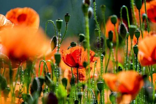aguona, aguonos gėlė, laukas aguonos, raudona, Klatschmohn, gėlė, raudona aguonos, pobūdį, žiedas, žydi, meadow, klesti mohnfeld, MOHN gewaechs, kraštovaizdis, aguonos kapsulėje