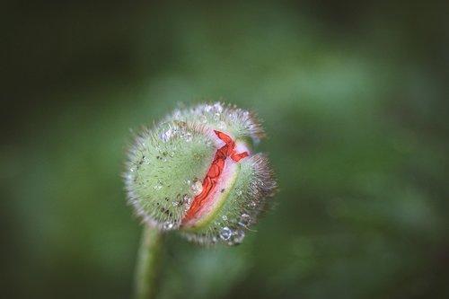 poppy  poppy flower  opium poppy
