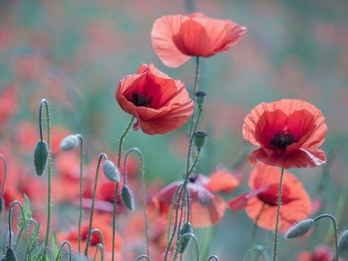 poppy  klatschmohn  poppy flower
