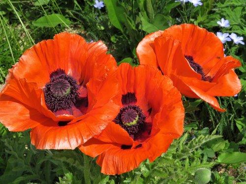 poppy  poppies  red