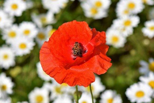 aguona, mohngewaechs, aguonos gėlė, raudona aguonos, Klatschmohn, bičių, pabarstyti, vabzdys, žiedas, žydi, raudona, gėlė, Sodas, farbenpracht, laukas aguonos, žiedų
