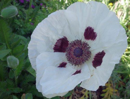 poppy  turkish poppy  riesenmohn