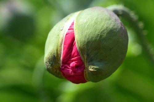 poppy  poppy bud  bud
