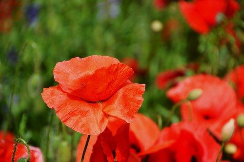 poppy  flower  flora