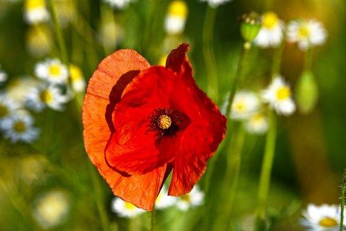 poppy  flower  plant