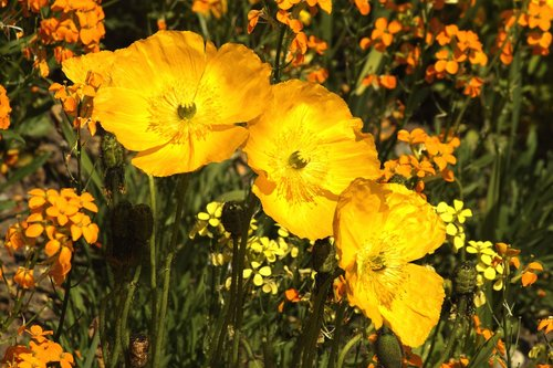 poppy  klatschmohn  alpine poppy