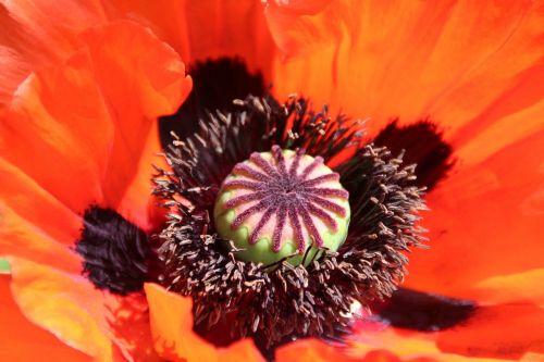 aguona,gamta,laukas aguonos,žiedas,žydėti,sodas,makro,žiedadulkės,pūkuotas,mohngewaechs,makrofotografija,Uždaryti,papaver
