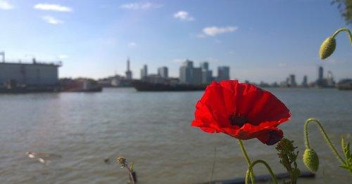 poppy  flower  london