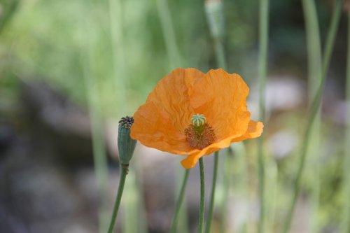 poppy  orange  beautiful