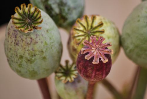 poppy poppy capsules macro